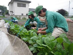 生ゴミ堆肥を使用した野菜栽培